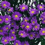 Aster - Monte Casino - Purple - Click Image to Close