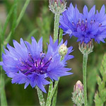 Bachelor Buttons - Cornflowers
