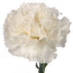 Carnations - Fancy Select - White