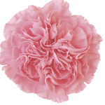 Carnations - Fancy Select - Pink