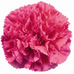 Carnations - Fancy Select - Hot Pink