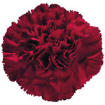 Carnations - Fancy Select - Burgundy