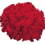 Carnations - Standard - Red