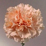 Carnations - Fancy Select - Peach