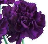 Carnations - Fancy Select - Purple Moonshade