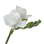 Freesia - White
