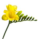 Freesia - Yellow