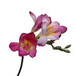 Freesia - Reddish
