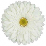 Gerbera - 50 Stems White/Green Center