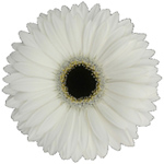 Gerbera - 45 Stems White/Black Center