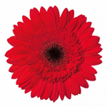 Gerbera - 45 Stems Red/Black Center
