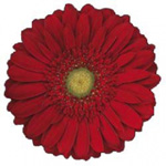 Gerbera - 50 Stems Red/Black Center
