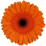 Gerbera - 45 Stems Orange/Black Center