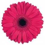 Gerbera - 45 Stems Hot Pink/Black Center