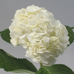 Hydrangea - Single Stem White