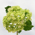 Hydrangea - Single Stem Green Mini