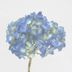 Hydrangea - Single Stem Pale Blue