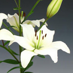 Asiatic Lily - White