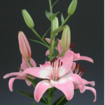 Asiatic Lily - Pink