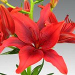 Asiatic Lily - Red