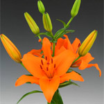 Asiatic Lily - Orange