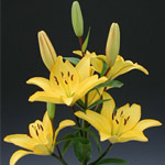 Asiatic Lily - Yellow