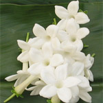 Stephanotis - White
