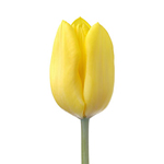 Tulips - Yellow 30 Bunches