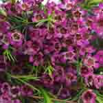 Waxflower - Purple