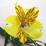 Alstromeria - Yellow