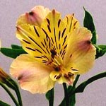 Alstromeria - Butter Yellow