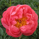 Peony - Coral
