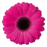 Mini Gerbera - 70 Stems Caprice