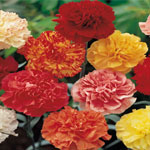 100 Carnations - Mix/Match Colors