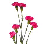 Mini Carnations - Hot Pink