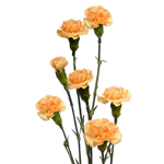 Mini Carnations - Peach