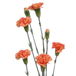Mini Carnations - Orange
