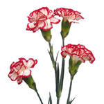 Mini Carnations - Peppermint