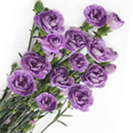 Mini Carnations - Lavender Moonshade