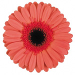 Gerbera - 50 Stems Hot Pink/Black Center