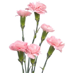Mini Carnations - Light Pink