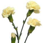 Mini Carnations - Butter Yellow