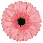 Gerbera - 45 Stems Pink/Black Center