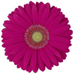 Gerbera - 50 Stems Pink/Black Center