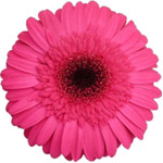 Gerbera - 50 Stems Hot Pink/Green Center