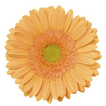 Gerbera - 50 Stems Orange/Black Center
