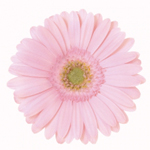 Mini Gerbera - 70 Stems Harper