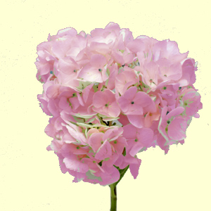 Hydrangea - Light Pink 25 Stems - Click Image to Close