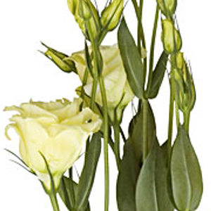 Lisianthus - Cream/Yellow - Click Image to Close